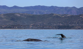 Gray Whales Passing California Coast. Two adult gray whales pass Southern California on their annual southern migration Stock Image