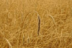 Gray wheat spike on the field on a summer day. Dry wheat spike on a thin stem in the field Royalty Free Stock Images