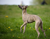 Gray whippet Royalty Free Stock Images