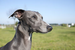 Gray whippet Royalty Free Stock Image