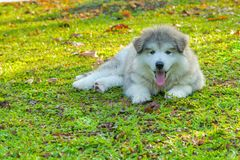 A gray white Alaskan malamute puppy lying on green grass showing pink tongue. A gray white Alaskan malamute puppy lying on grass showing pink tongue stock images