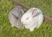 Gray and white albino rabbit Royalty Free Stock Images