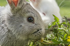 Gray and white albino rabbit Royalty Free Stock Photography