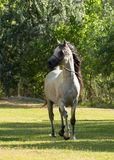 Gray and white Arabian stallion trotting on a lunge line in a green field with trees in the background royalty free stock photo