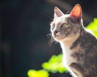 Gray white black cat sitting sunbathing and look forward. Royalty Free Stock Image