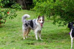 Gray and white border collie and braziliam terrier playing on the green grass royalty free stock photo