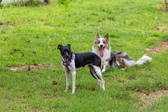 Gray and white border collie and braziliam terrier playing on the green grass stock photography