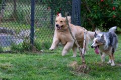 Gray and white border collie and Golden Retrievar running on the green grass stock photos