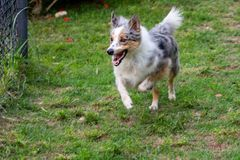 Gray and white border collie running on the green grass stock photo