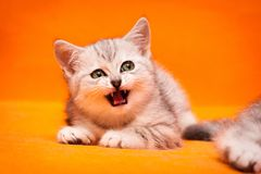 Gray white British kitten meows lying on an orange background. And looks away royalty free stock photo