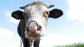 Gray and White Bull Grazing on Meadow and Smelling the Camera on Sky Background. Slow Motion stock footage