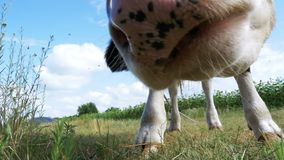 Gray and White Bull Grazing on Meadow and Smelling the Camera on Sky Background. Slow Motion stock video footage
