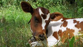 Gray and White Calf Cow Lying on Meadow and Chews Grass stock video footage