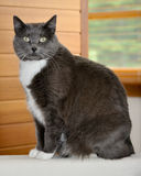 Gray and white cat. Sitting on a ledge stock images