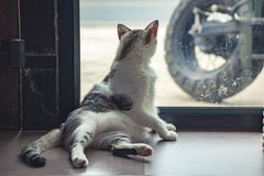 Gray and white cat Royalty Free Stock Image
