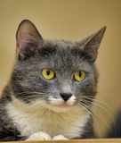 Gray and white cat Royalty Free Stock Photo