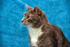 Gray and white cat on a blue Royalty Free Stock Image