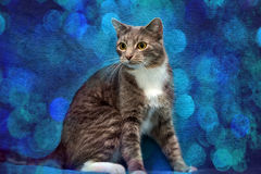 Gray and white cat on a blue Royalty Free Stock Photo