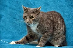 Gray and white cat on a blue Royalty Free Stock Images