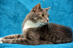 Gray and white cat on a blue Stock Photo