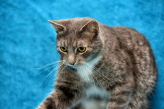 Gray and white cat on a blue Stock Images
