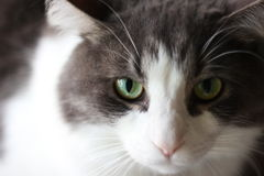 A Gray and White Cat Royalty Free Stock Images