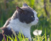 Gray and White Cat Royalty Free Stock Photography