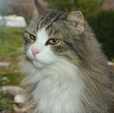 Gray white cat Royalty Free Stock Photo