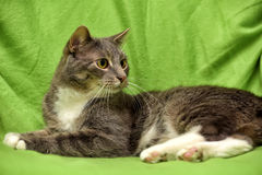 Gray and white cat on a green Royalty Free Stock Photography
