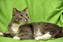 Gray and white cat on a green Stock Photography