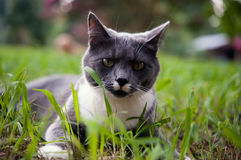 Gray and white cat lays atop grass Royalty Free Stock Photo