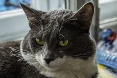 Gray-white cat looking into the lens royalty free stock images