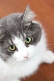 A Gray and White Cat Stock Images