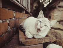 Gray-white cat outdoor Royalty Free Stock Images