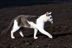 Gray-white cat Royalty Free Stock Photos