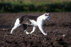 Gray-white cat Royalty Free Stock Photo