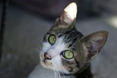Gray White Cat scuro Fotografie Stock