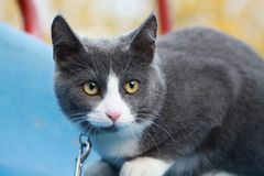 Gray white cat on the street walk on a leash. Gray cat on the street walk on a leash Stock Photo