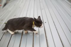 Gray white cat on the street walk on a leash. Gray cat on the street walk on a leash Royalty Free Stock Image