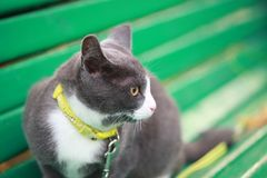 Gray white cat on the street walk on a leash Royalty Free Stock Image