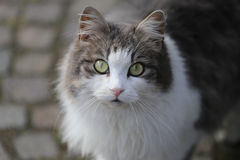 Gray and White Cat Stock Photos