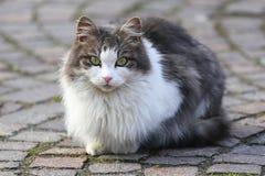 Gray and White Cat Stock Photo