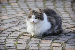 Gray and White Cat Royalty Free Stock Photos