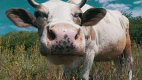 Gray and White Cow Grazing on Meadow and Smelling the Camera on Sky Background. Slow Motion stock video footage