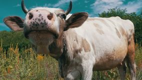 Gray and White Cow Grazing on Meadow and Smelling the Camera on Sky Background. Slow Motion stock footage