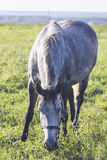Gray white dappled horse Royalty Free Stock Images