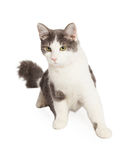 Gray and White Domestic Cat Stock Photo