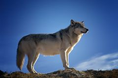 Gray and White Fox Standing on Brown Rock Field Royalty Free Stock Image