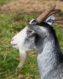 Gray and white goat Royalty Free Stock Images