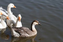 Gray and white goose floating. On the river stock photo